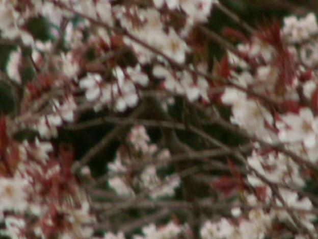 桜2010 034