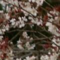 Photos: 桜2010 034
