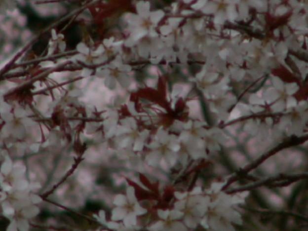 桜2010 036