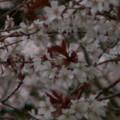 Photos: 桜2010 036