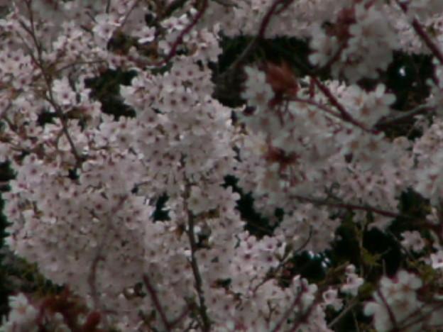 桜2010 039