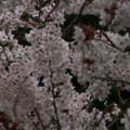 Photos: 桜2010 039