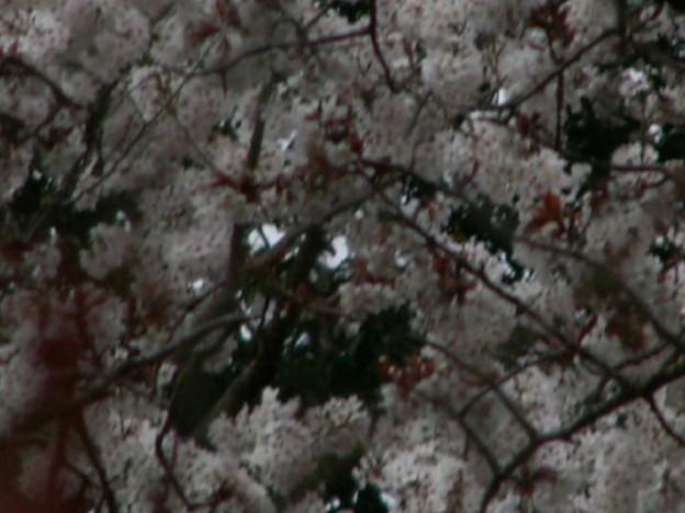 桜2010 050