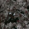 Photos: 桜2010 050