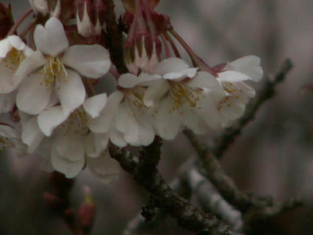 桜2010 054