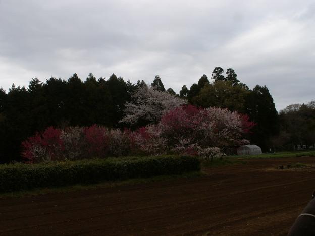 桜2010 056