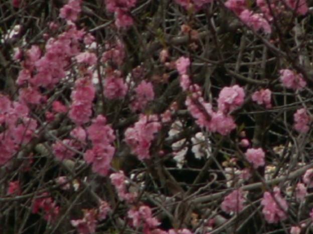 桜2010 061