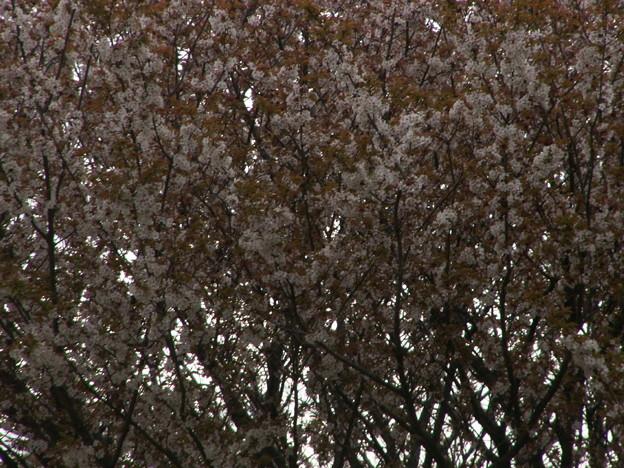 桜2010 062