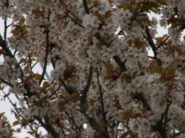 桜2010 064