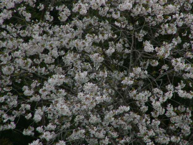 桜2010 066
