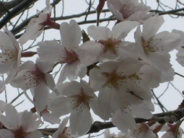 桜2010 071
