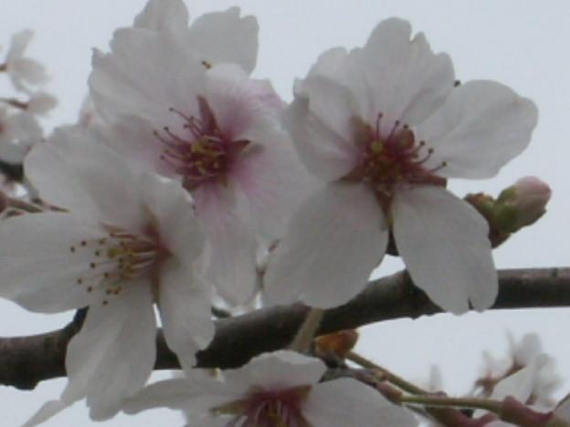 桜2010 073