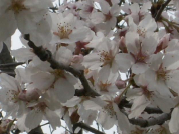 桜2010 075
