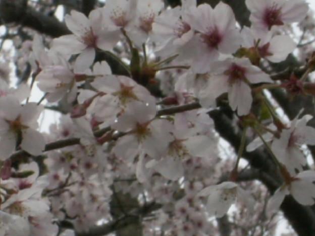 桜2010 076