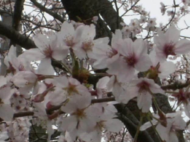 桜2010 077