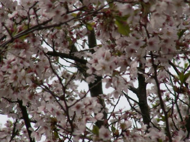 桜2010 080