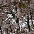 Photos: 桜2010 080