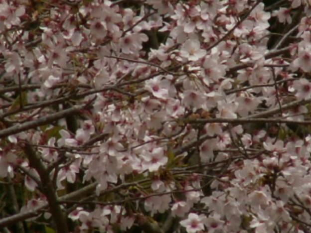 桜2010 081