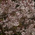 Photos: 桜2010 081