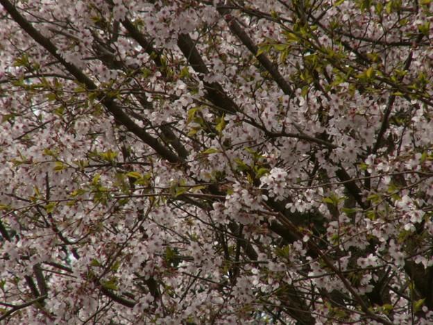 桜2010 082