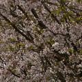 Photos: 桜2010 082