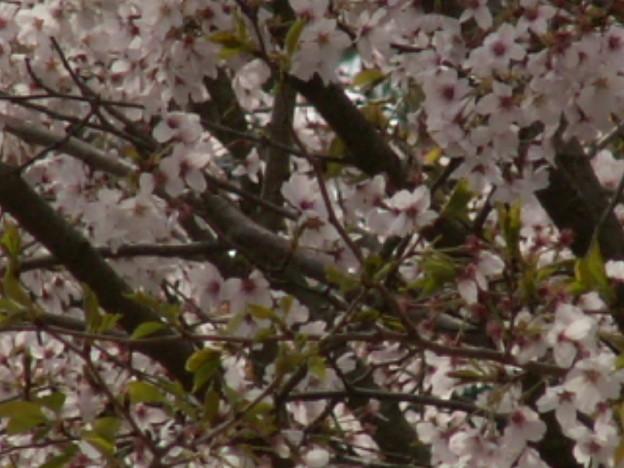 桜2010 083