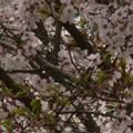 Photos: 桜2010 083