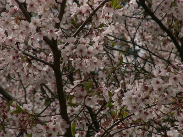 桜2010 085