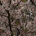 Photos: 桜2010 085