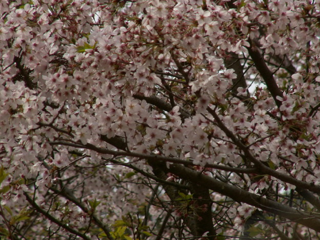 Photos: 桜2010 086