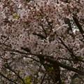 桜2010 086