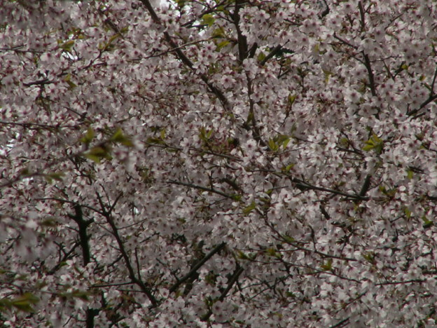 Photos: 桜2010 088