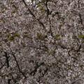 桜2010 088