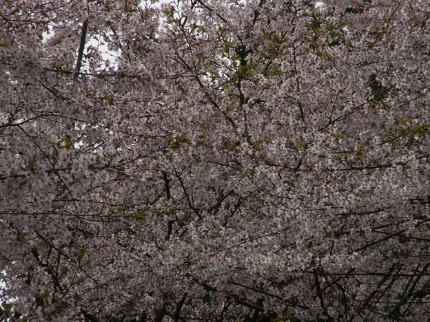 Photos: 桜2010 089