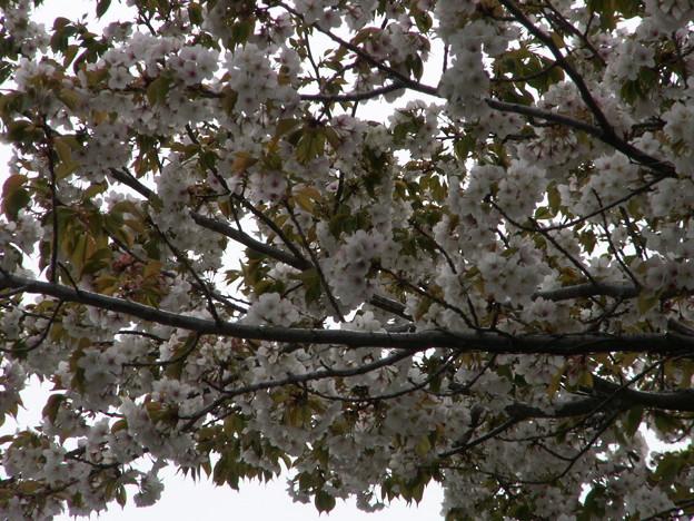 桜2010 095