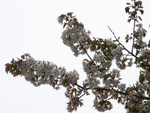 Photos: 桜2010 096