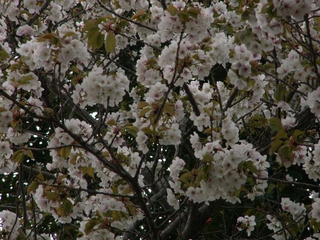 桜2010 098