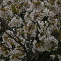 Photos: 桜2010 098