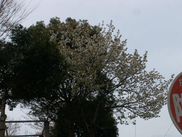桜2010 099