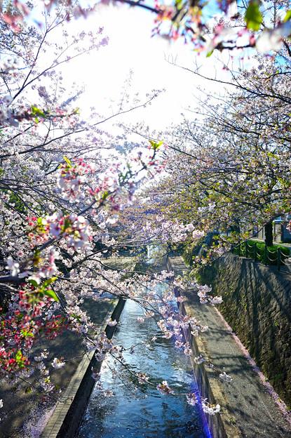 四季の広場の桜