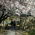 写真: 桜のタイムトンネル