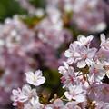 大阪の河津桜