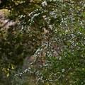 ユキヤナギが咲いた森