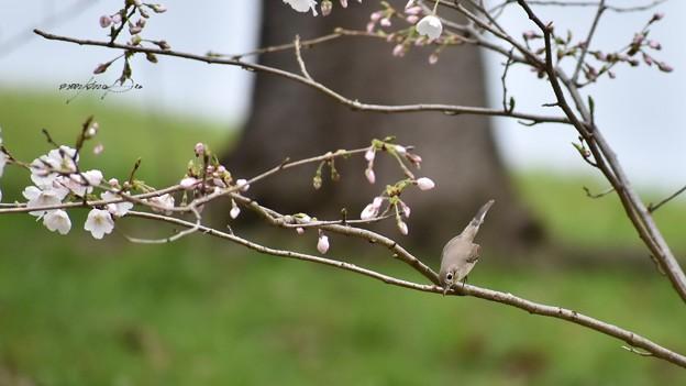 桜ニシオジロビタキの突撃~