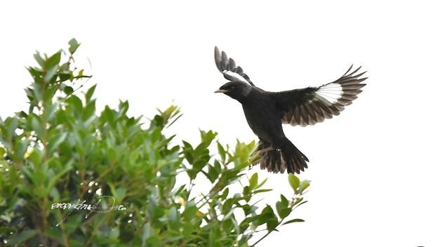 幼鳥の飛翔