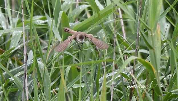 巣作りオオヨシキリ