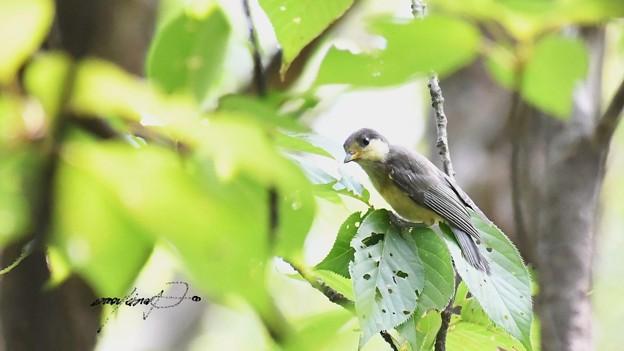 ヤマガラ幼鳥