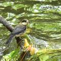 写真: ヤマガラ幼鳥