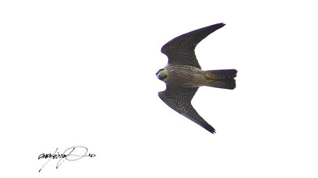 ハヤブサ幼鳥