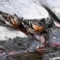 写真: 水飲みアトリ